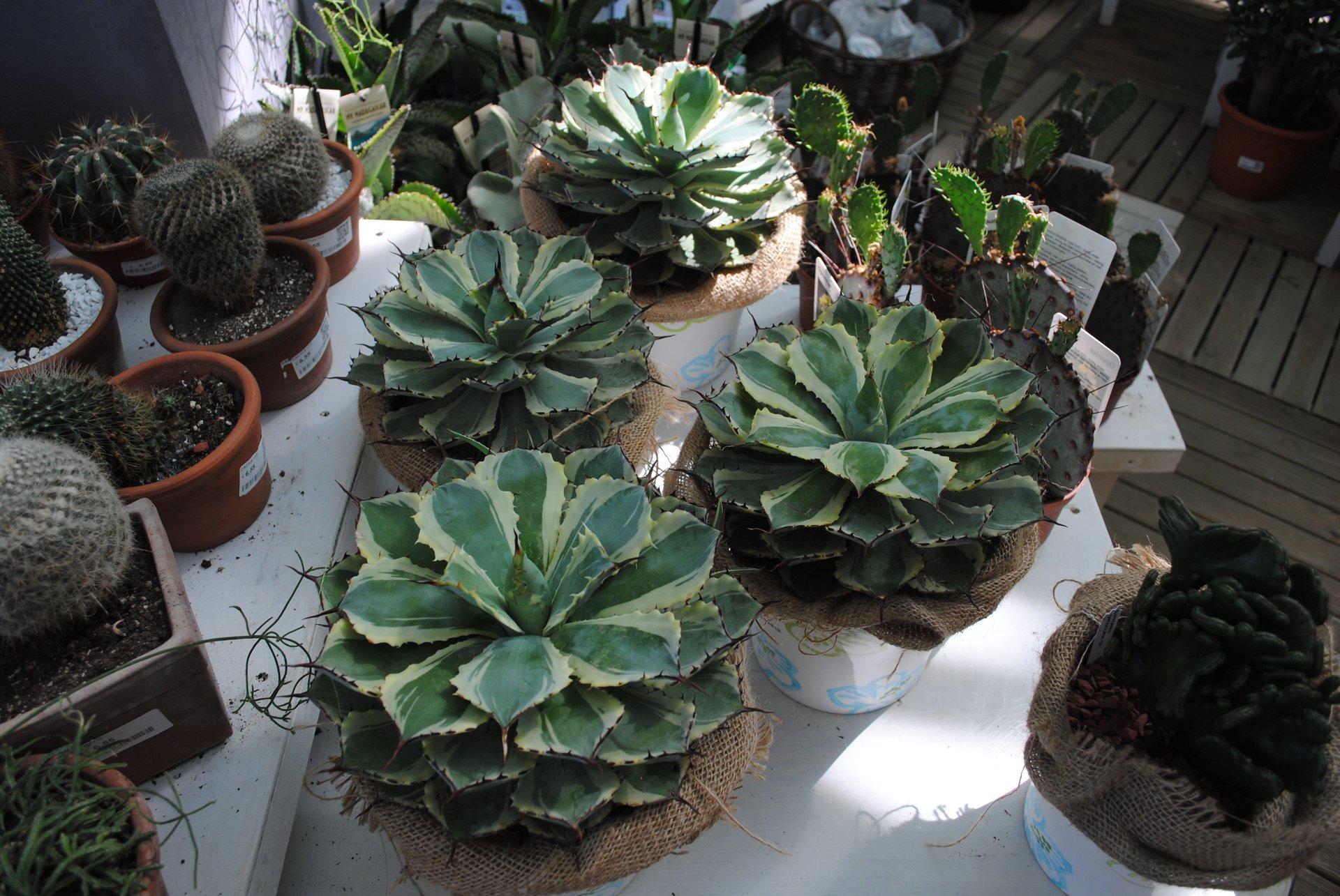 Serra calda bonsai piante carnivore torino garden for Piante rare