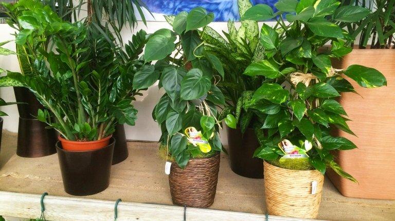 piante verdi da appartamento