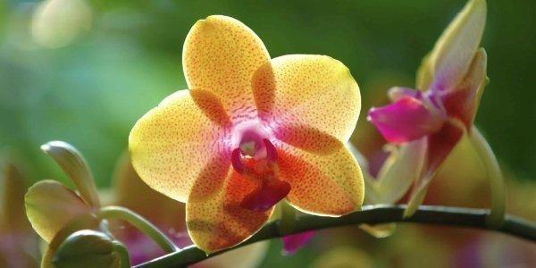 vendita orchidea