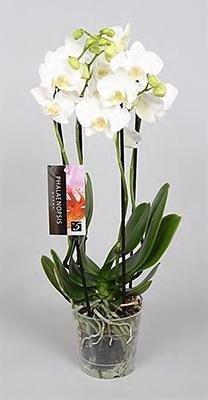 phalaenopsis trocipp snowball