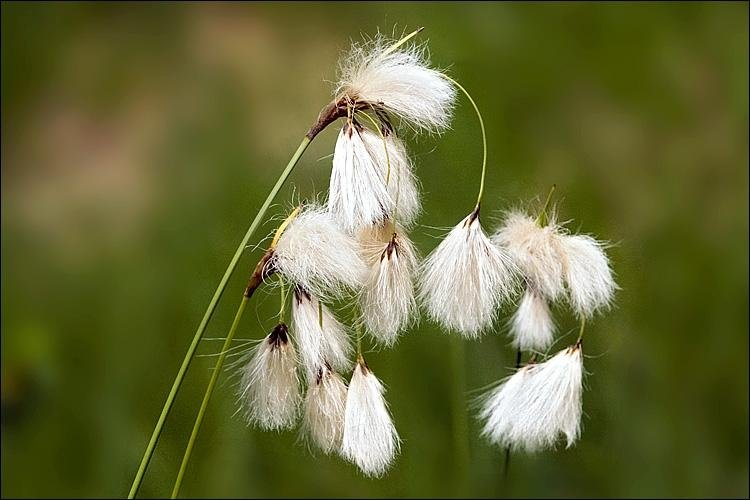 Eriophorum angustfolium