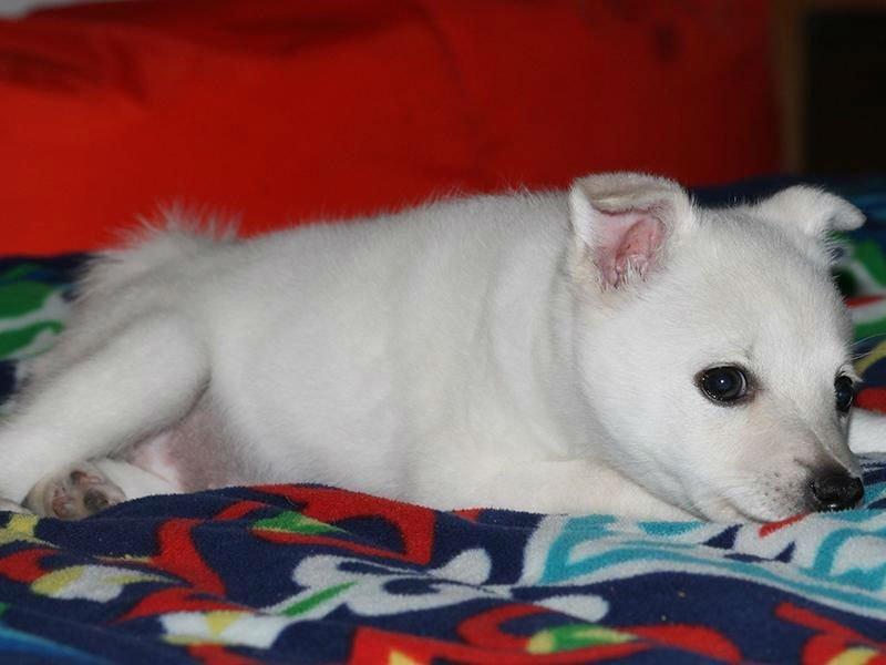 Primo piano di un piccolo cane bianco