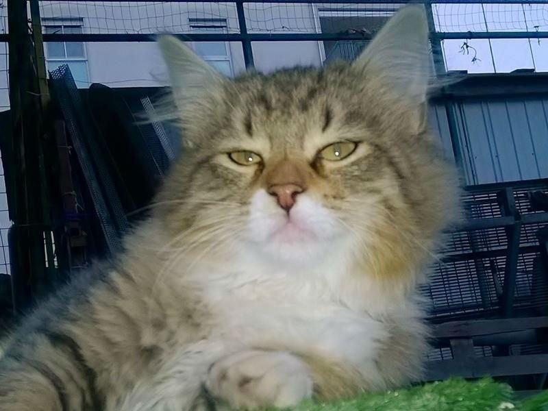 Un gatto a pelo lungo dopo la toelettatura