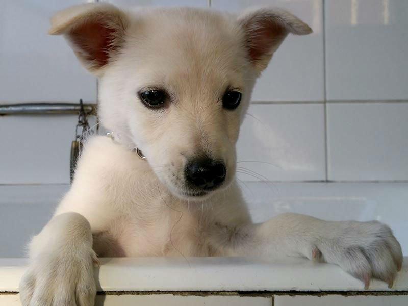 un piccolo cane bianco dopo il lavaggio
