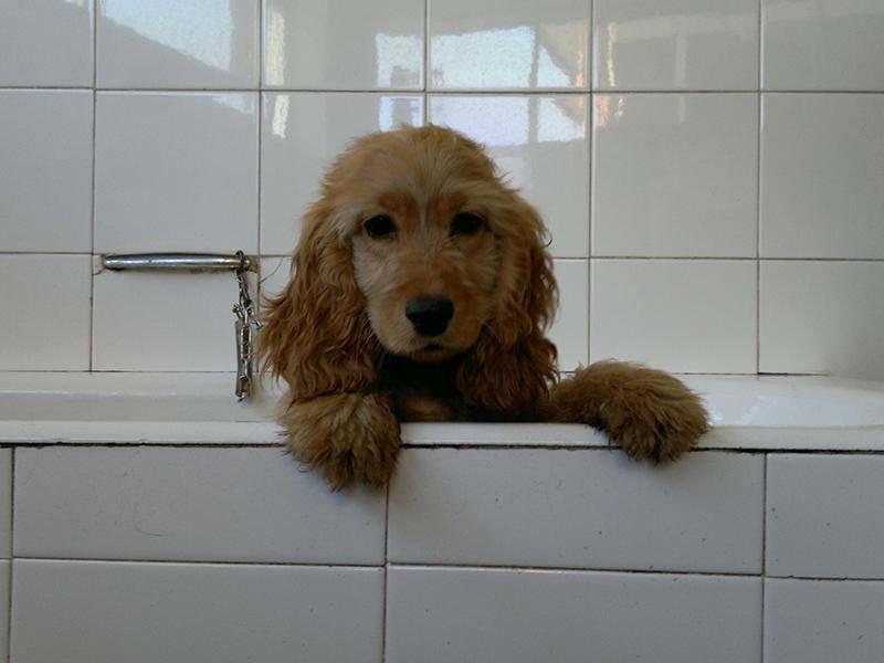 Un cocker nella vasca