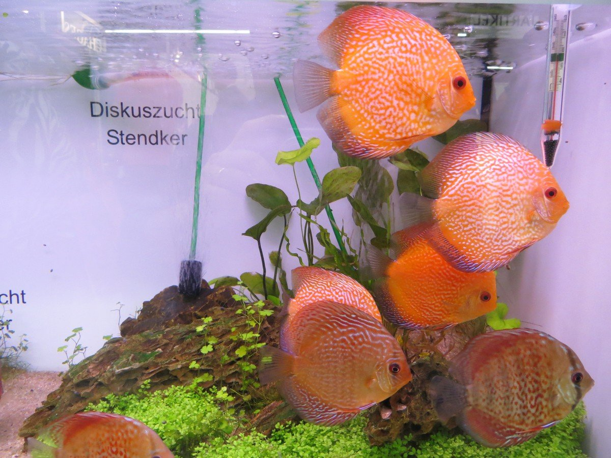 Pesci d 39 acqua dolce genova l 39 acquario for Pesci acqua dolce