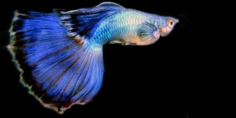 Pesci d 39 acqua dolce genova l 39 acquario for Pesce pulitore acqua dolce fredda