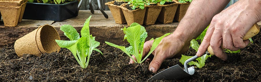Man digging seedlings into a vegetable garden