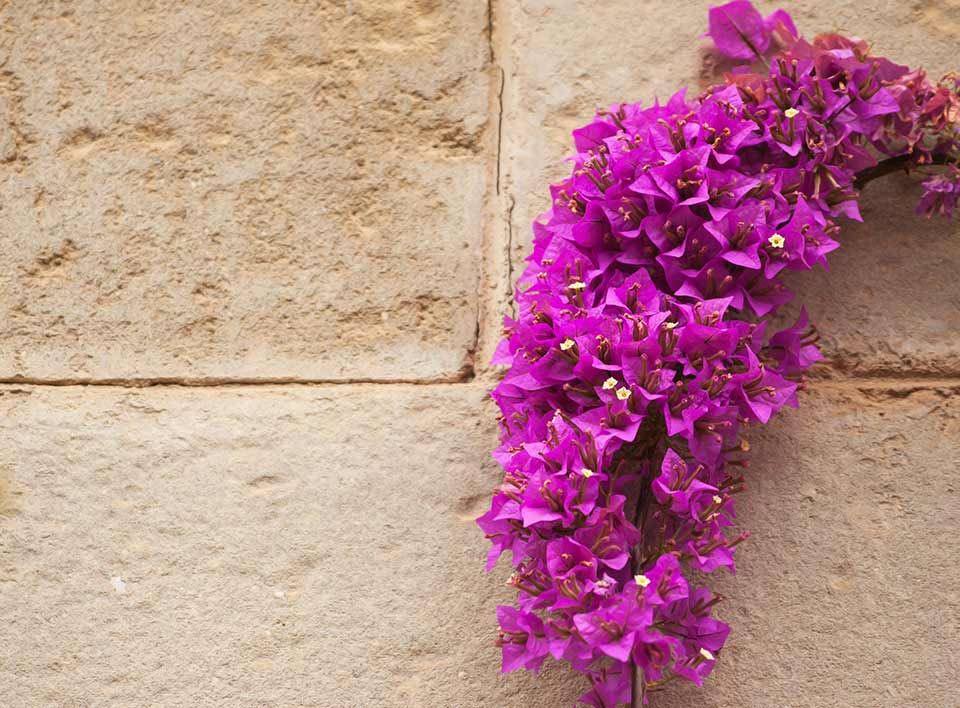 Bouganvillea flowers on a reconstitued limestone block wall
