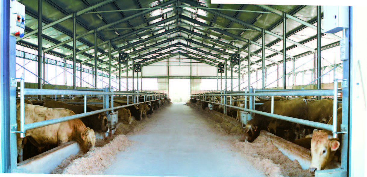 Mucche nella stalla coperta