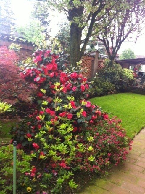 fiori rose in verde giardino