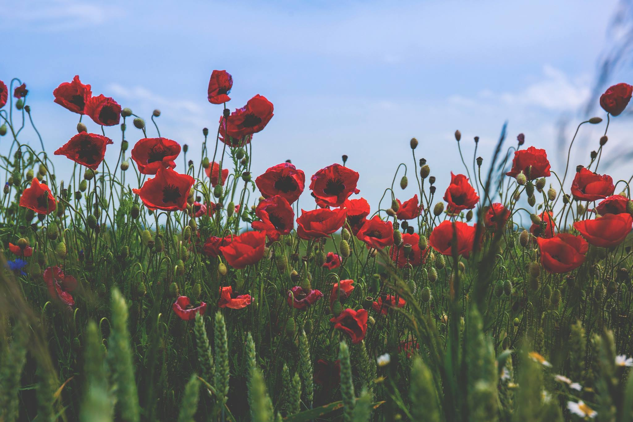 REMEMBRANCE DAY POPPIES FROM FAMILY DENTAL CENTRES IN GREATER VANCOUVER