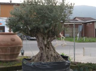 pianta di ulivo