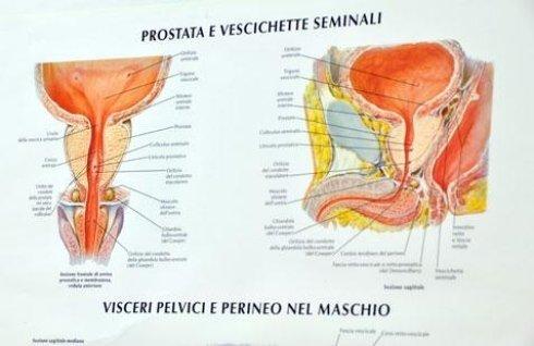 volantino di prostata e vescichette seminali