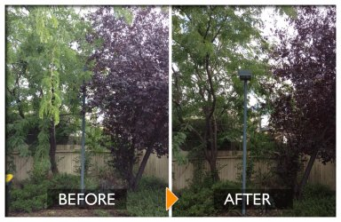 woodpecker tree services tree pruning before and after