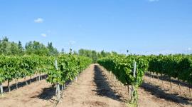 vino vigneti coltivazione