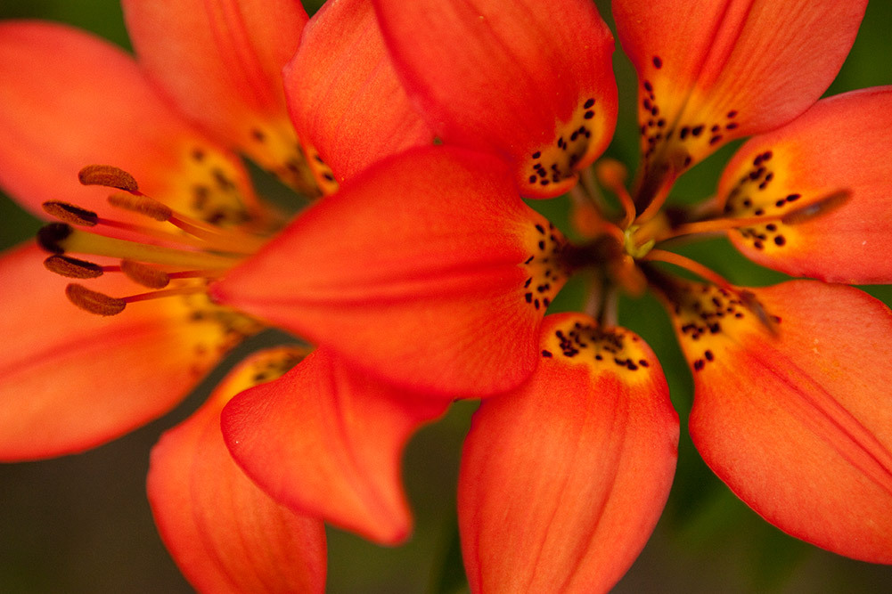 wood lillies in wterton