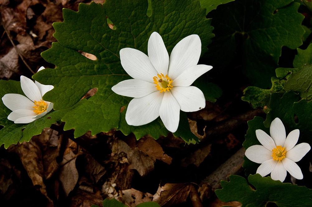 bloodroot ohio wild flower