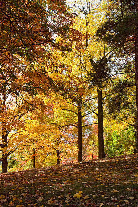 golden trees fall foliage