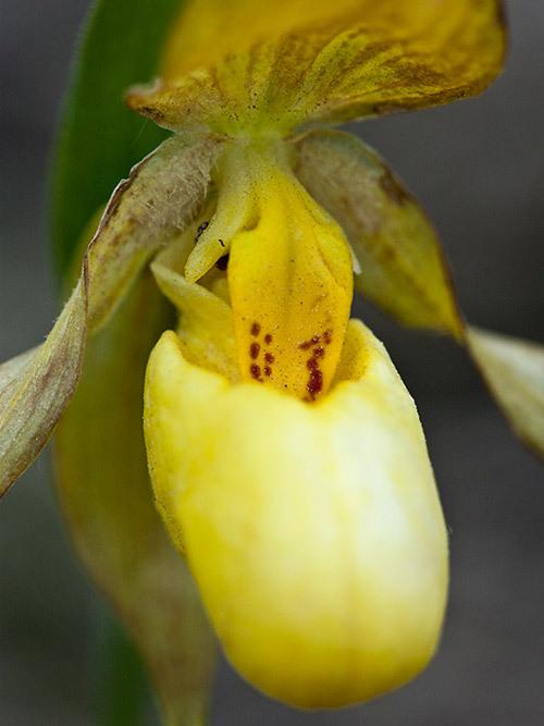 lady slipper flower yellow