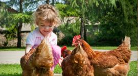 bambina dà da mangiare a galline