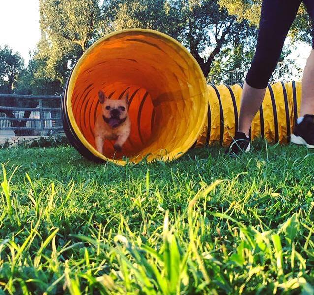 Bulldog francese corre in tunnel per agility dog