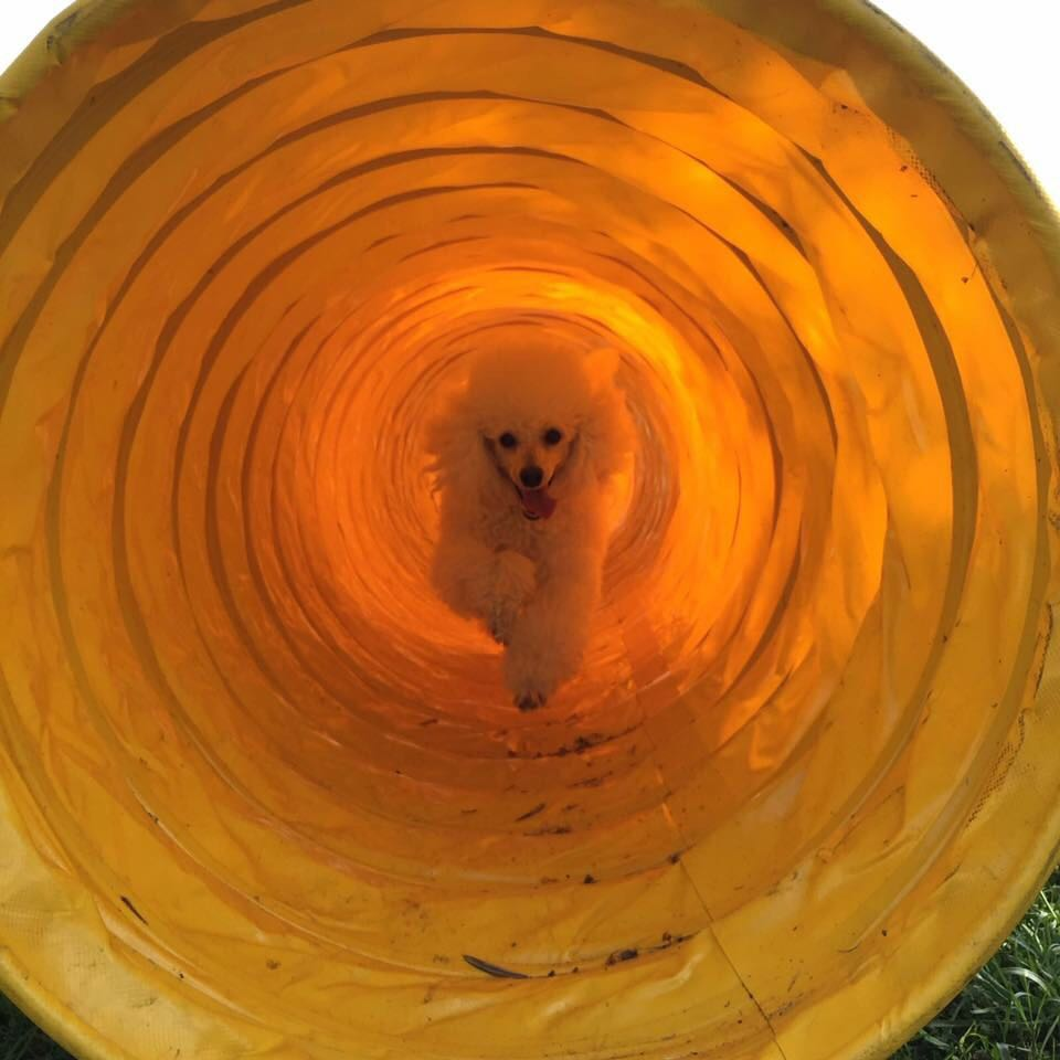 Barboncino in tunnel per agility dog