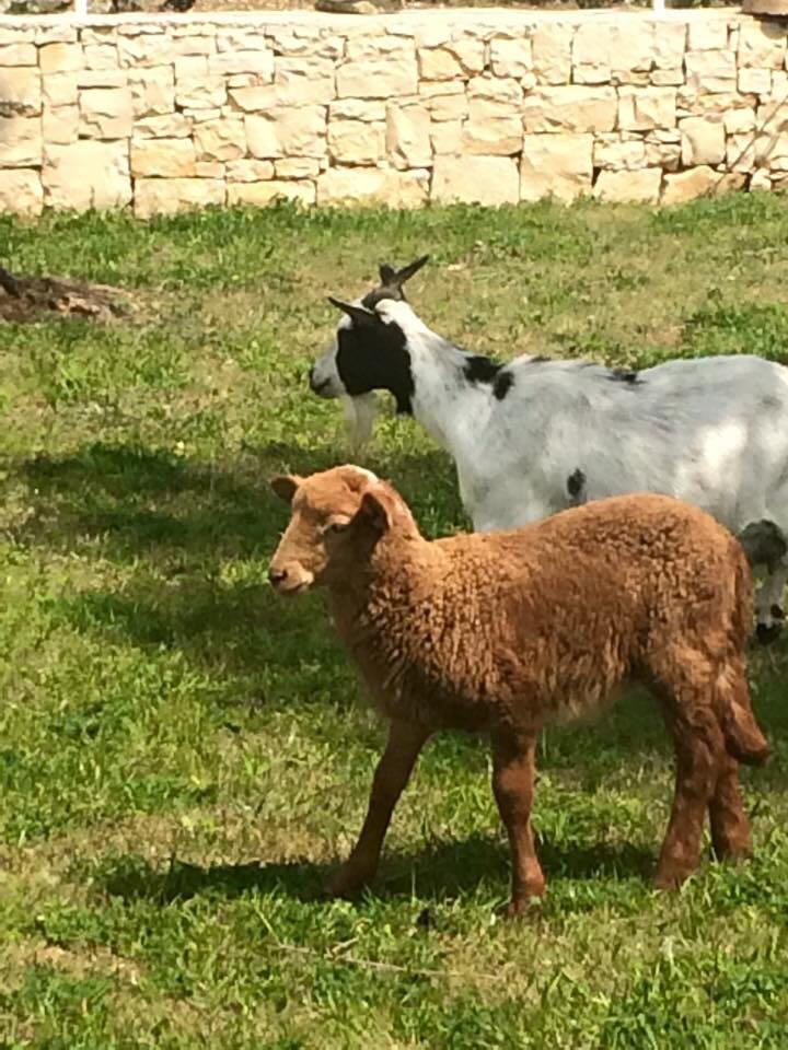 Due capre