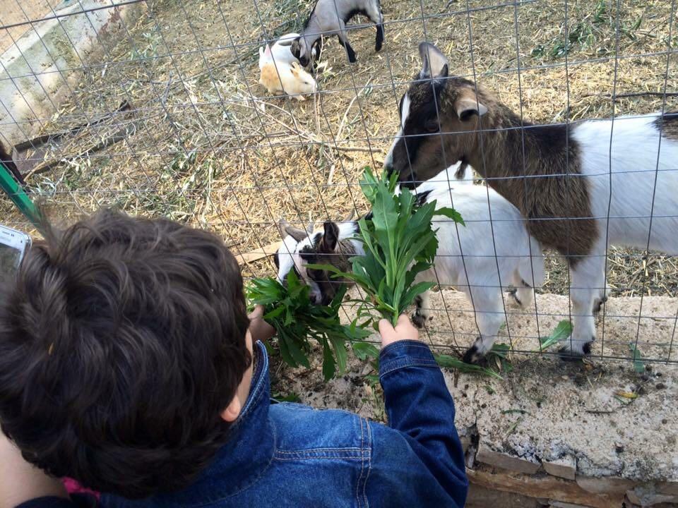 Un bambino nutre una capra in un recinto