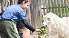 Un bambino nutre una capra