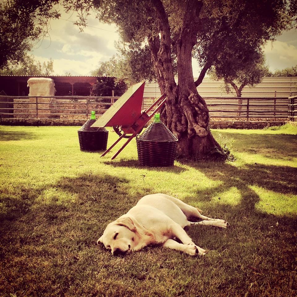 Un labrador dorme sotto a un albero