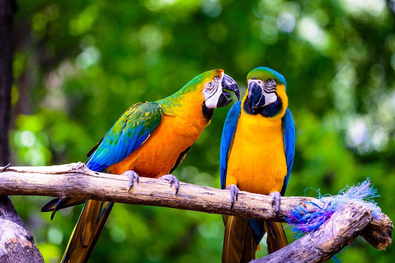 due pappagalli colorati