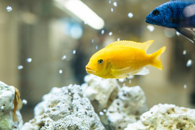 pesci tropicali in un acquario