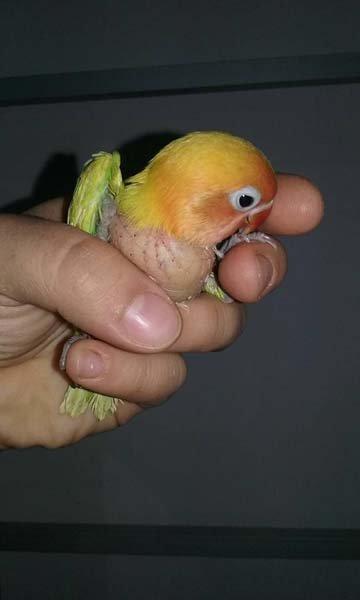 pappagallo inseparabile in una mano