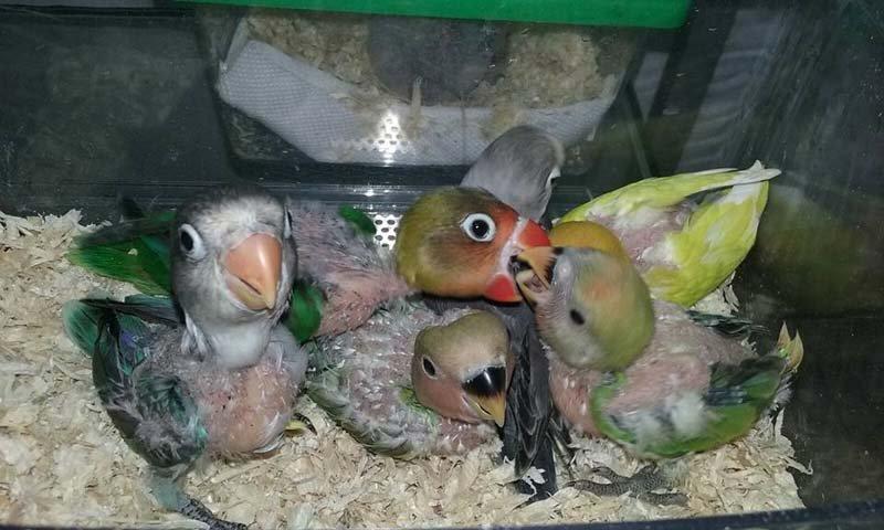 pappagalli inseparabili in una gabbia