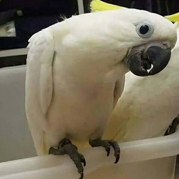 pappagallo con ciuffo