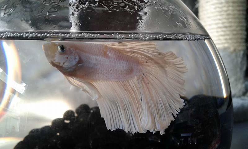 pesce con coda a velo dentro un acquario