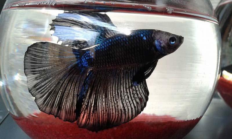 pesce con lunga coda nera