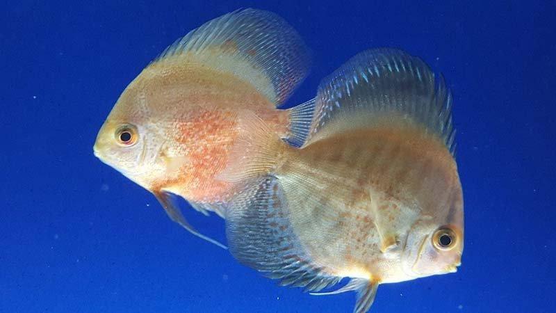 due pesce tropicali