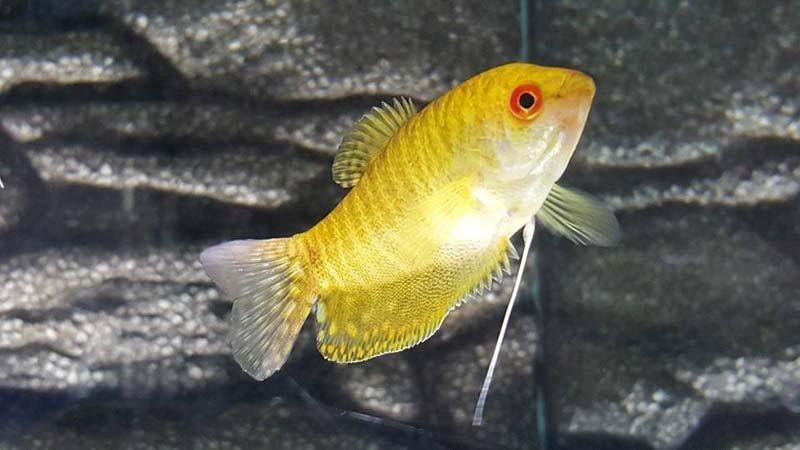 pesce giallo tropicale