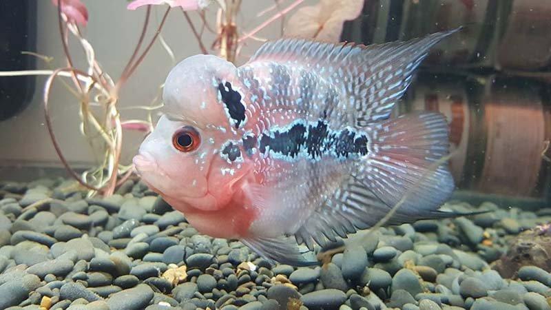 Pesce con la grande testa