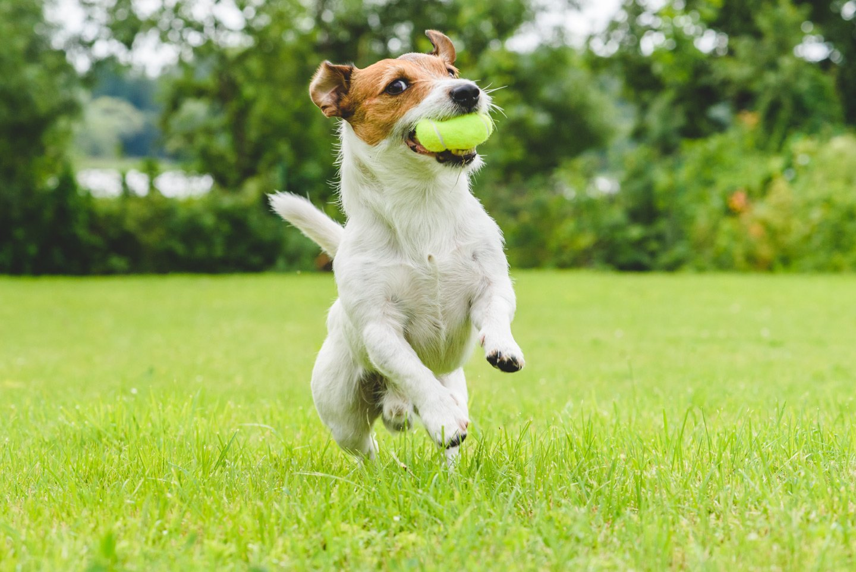 cane razza jack russell salta per prendere una pallina da tennis