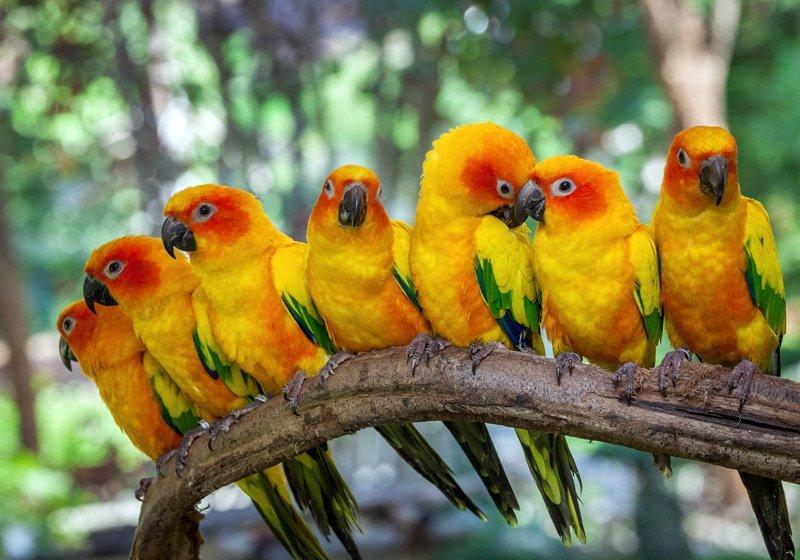 pappagalli inseparabili