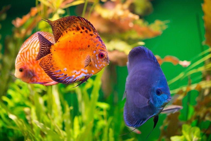 Pesce Tropicali blu e arancioni