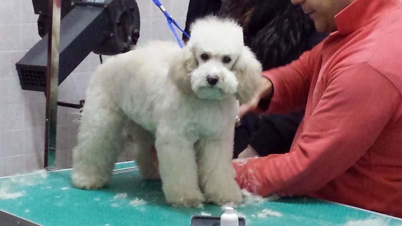 cane pelo lungo  pronto per una toelettattura