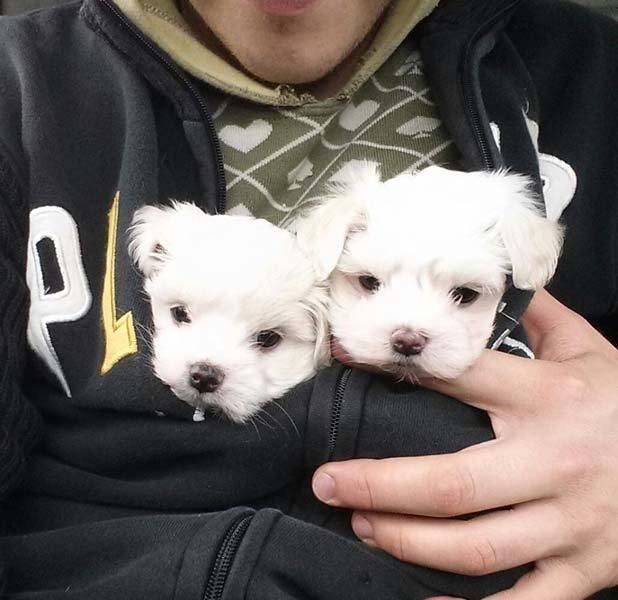 due cani bianchi in braccio