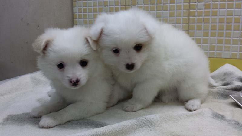 due cani bianchi