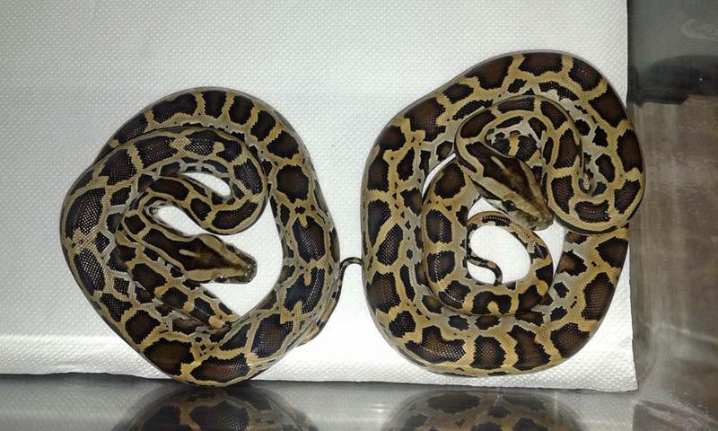 due serpenti arrotolati su ste stessi