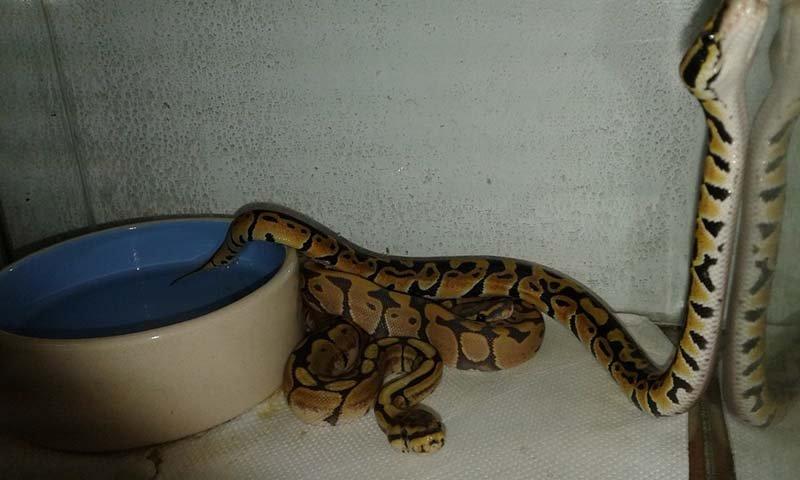 serpenti in una gabbia con una ciotola di acqua