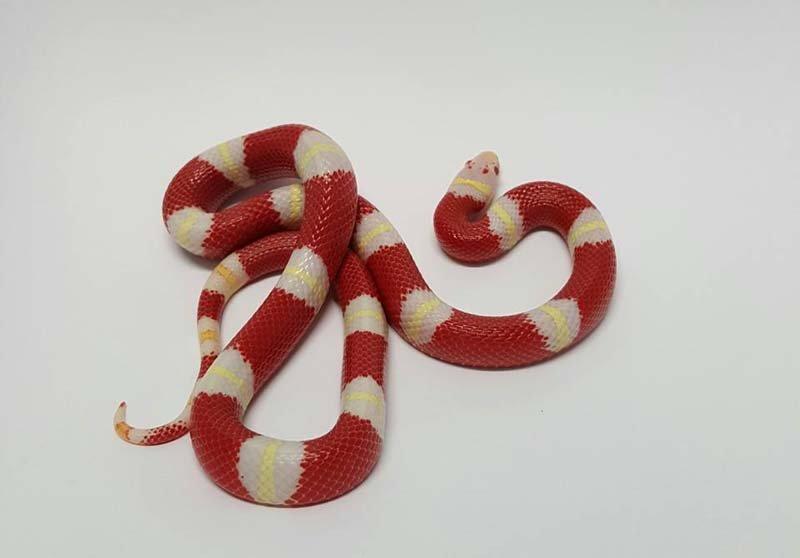 serpente a righe bianche e rosse